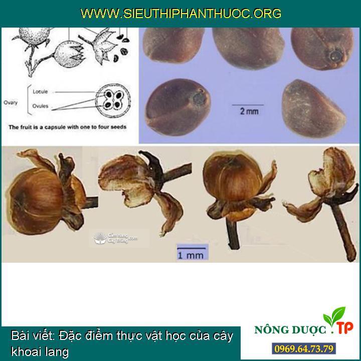 Đặc điểm thực vật học của cây khoai lang