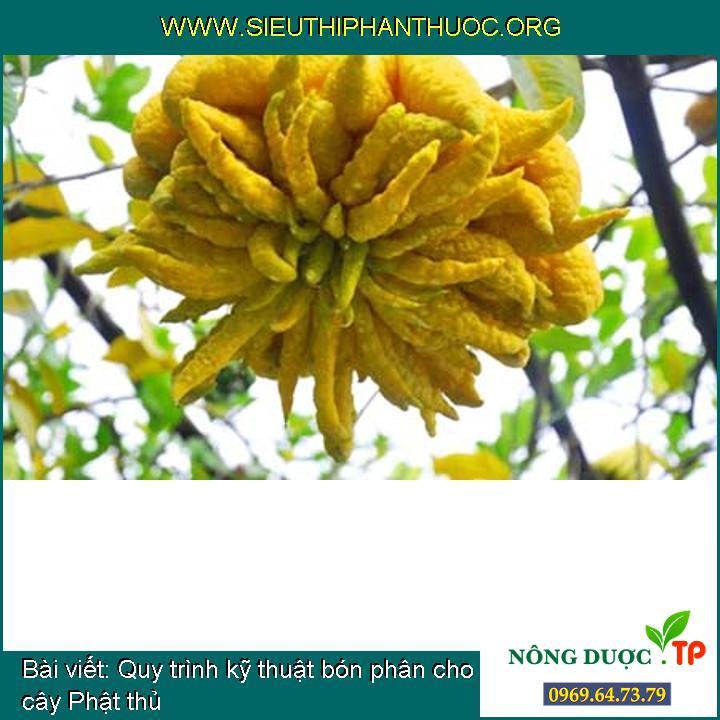 Quy trình kỹ thuật bón phân cho cây Phật thủ