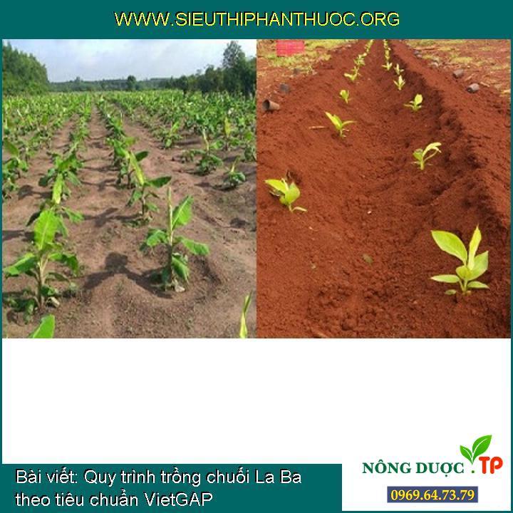 Quy trình trồng chuối La Ba theo tiêu chuẩn VietGAP