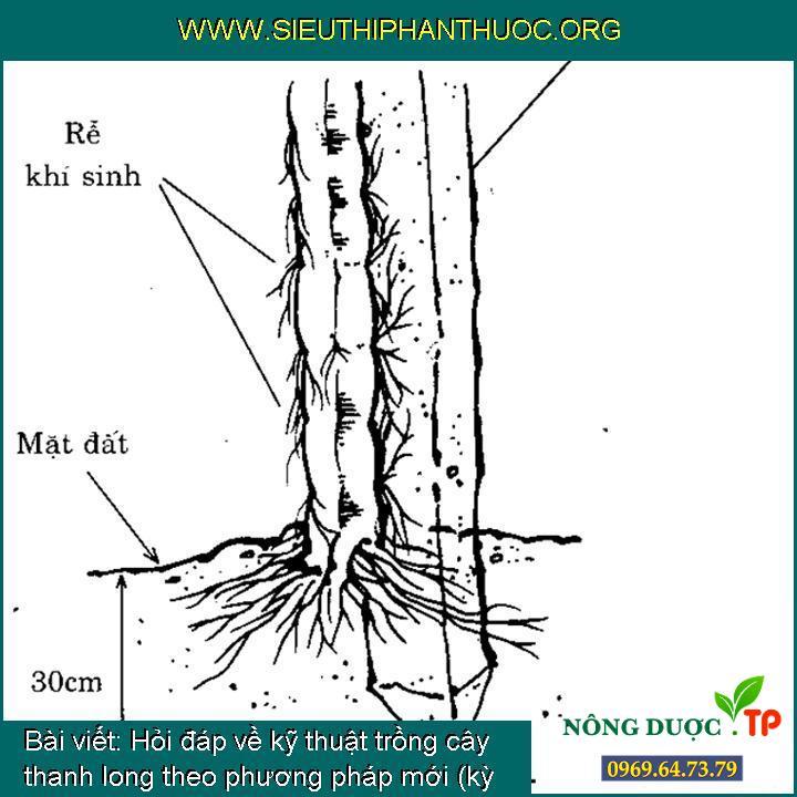 Hỏi đáp về kỹ thuật trồng cây thanh long theo phương pháp mới (kỳ 1)