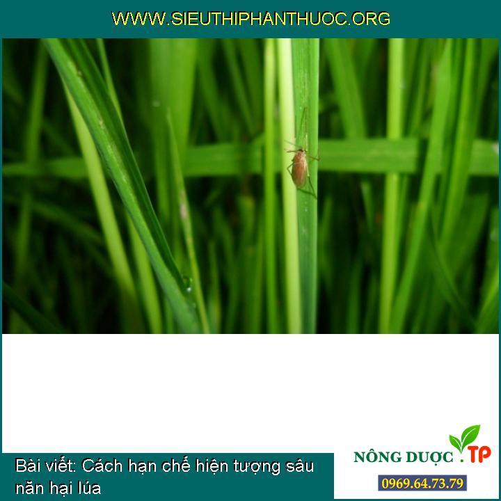 Cách hạn chế hiện tượng sâu năn hại lúa