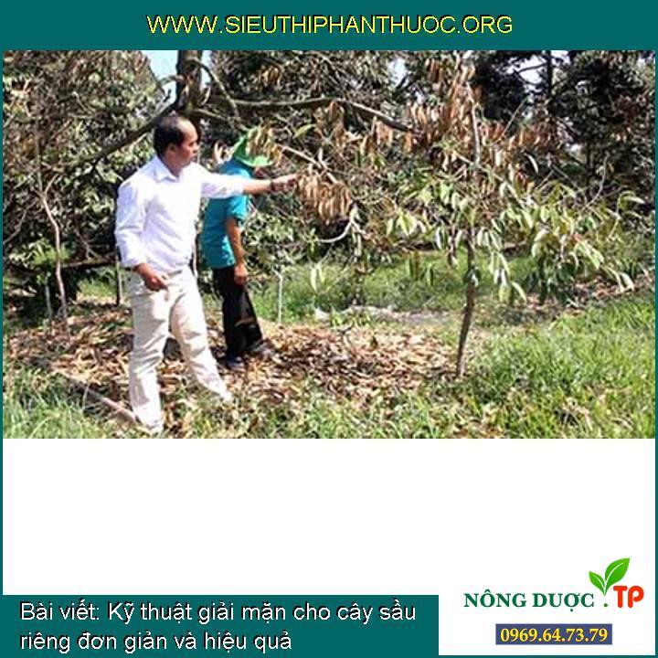 Kỹ thuật giải mặn cho cây sầu riêng đơn giản và hiệu quả