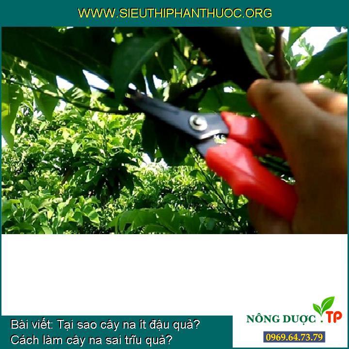 Tại sao cây na ít đậu quả? Cách làm cây na sai trĩu quả?