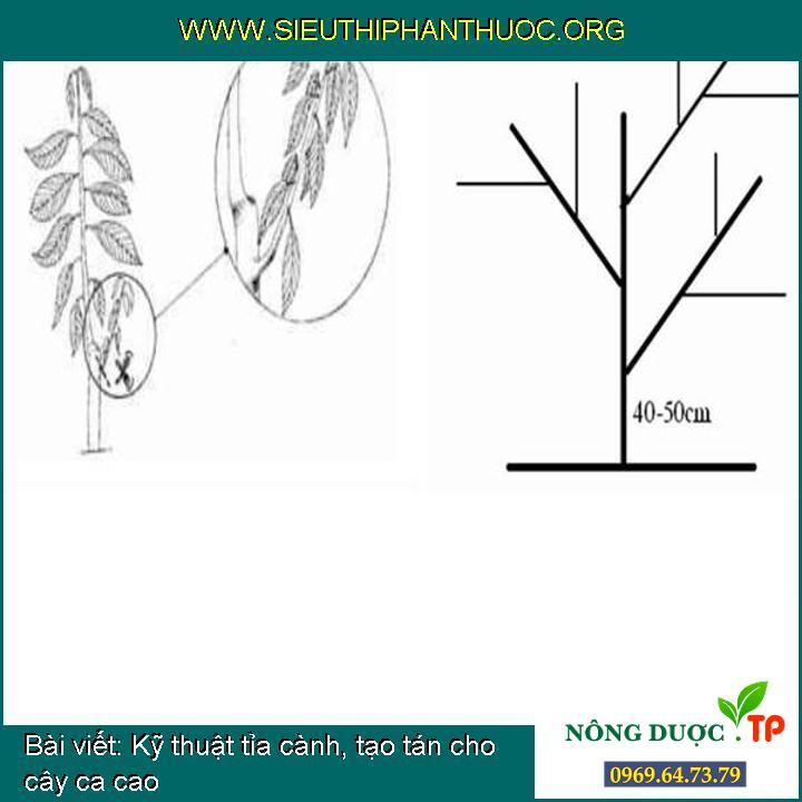 Kỹ thuật tỉa cành, tạo tán cho cây ca cao