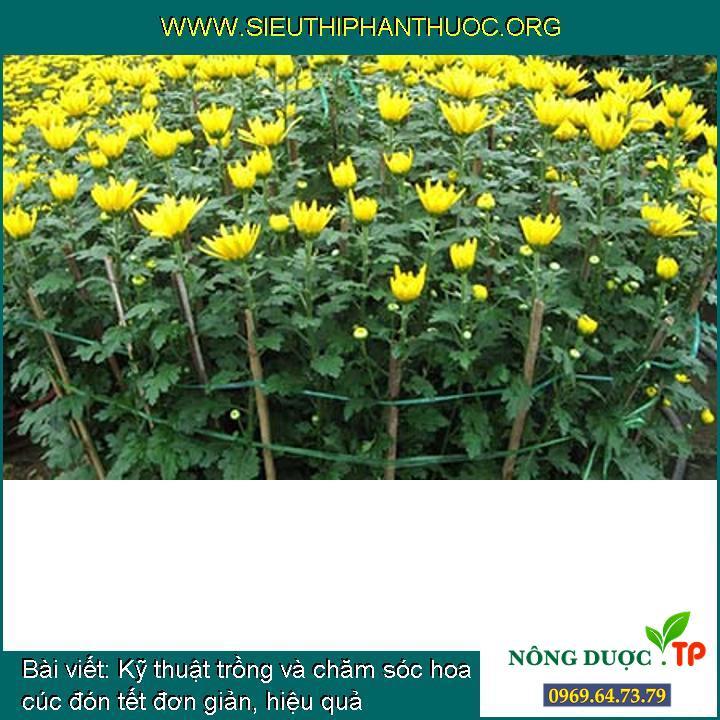 Kỹ thuật trồng và chăm sóc hoa cúc đón tết đơn giản, hiệu quả
