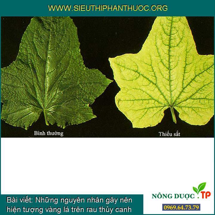 Những nguyên nhân gây nên hiện tượng vàng lá trên rau thủy canh