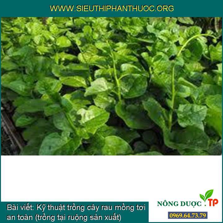 Kỹ thuật trồng cây rau mồng tơi an toàn (trồng tại ruộng sản xuất)