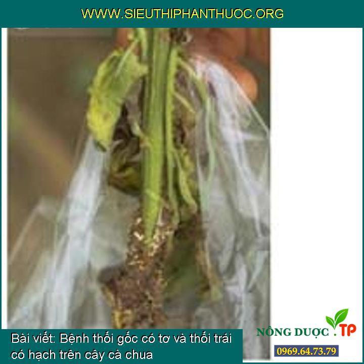 Bệnh thối gốc có tơ và thối trái có hạch trên cây cà chua