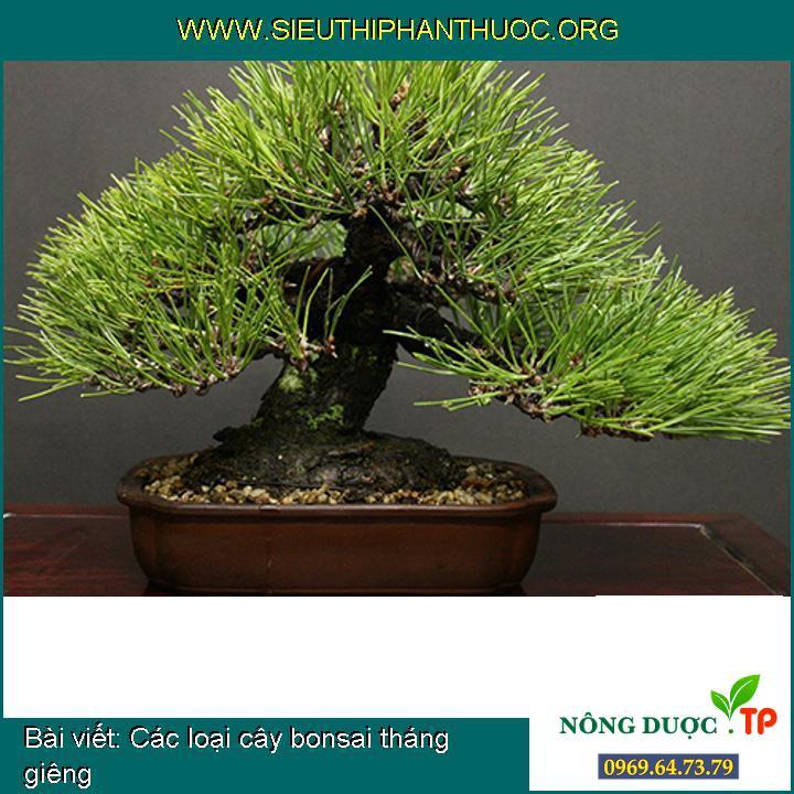 Các loại cây bonsai tháng giêng