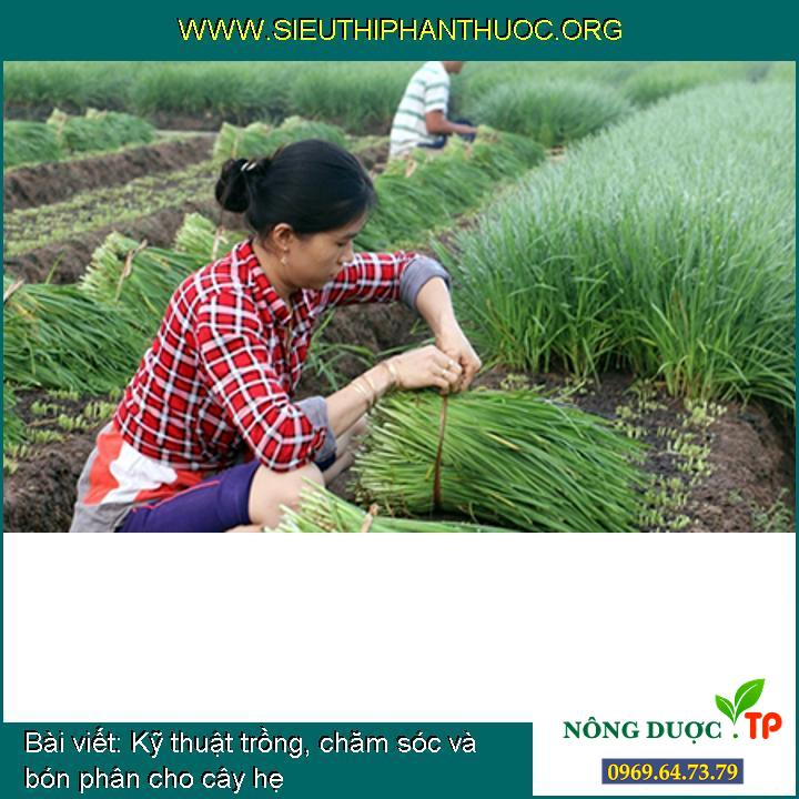 Kỹ thuật trồng, chăm sóc và bón phân cho cây hẹ