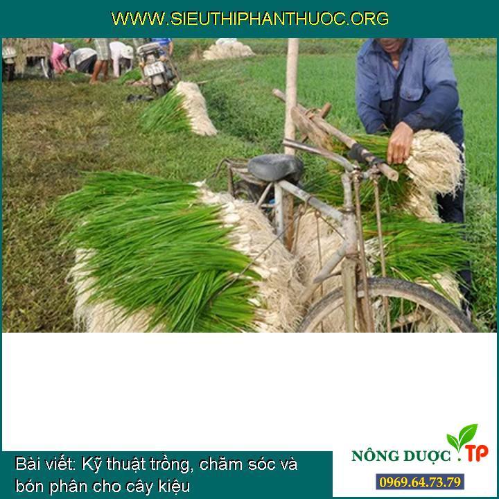 Kỹ thuật trồng, chăm sóc và bón phân cho cây kiệu