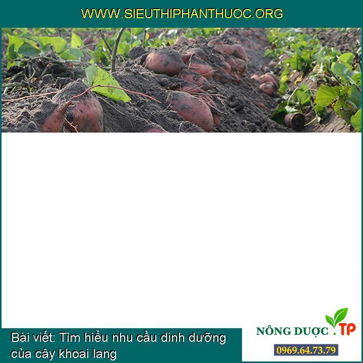 Tìm hiểu nhu cầu dinh dưỡng của cây khoai lang