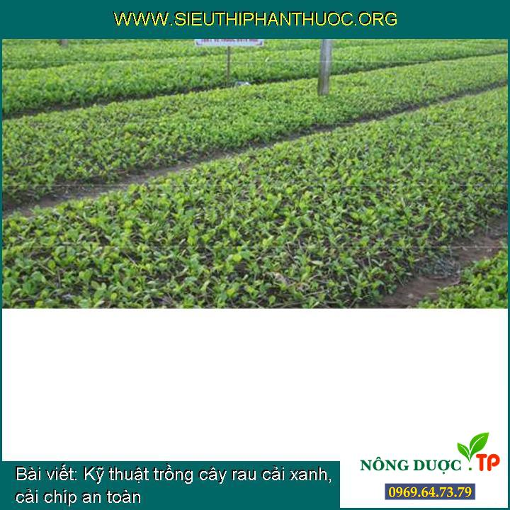 Kỹ thuật trồng cây rau cải xanh, cải chíp an toàn