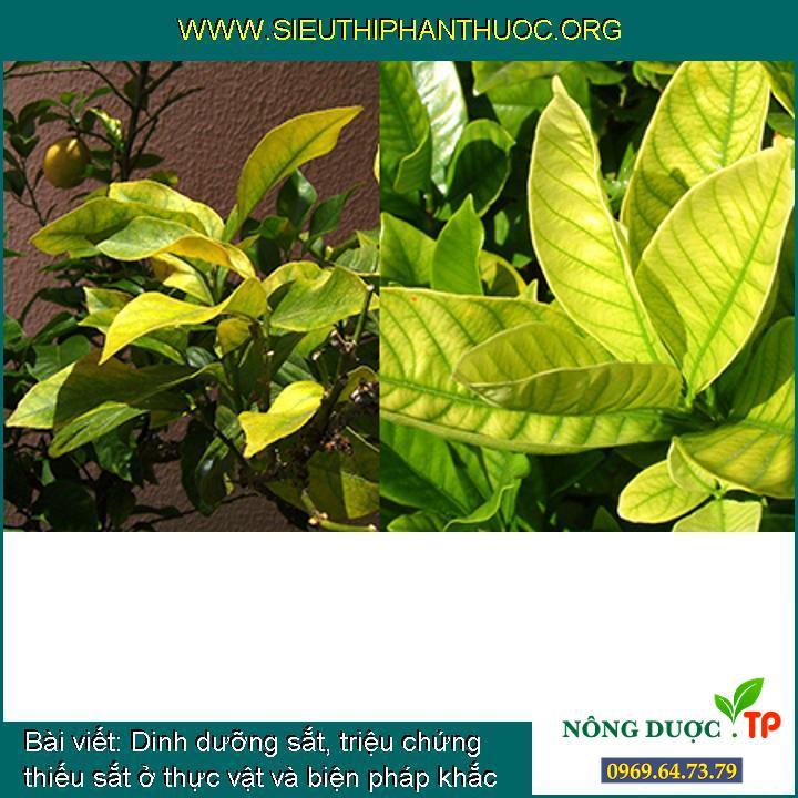 Dinh dưỡng sắt, triệu chứng thiếu sắt ở thực vật và biện pháp khắc phục