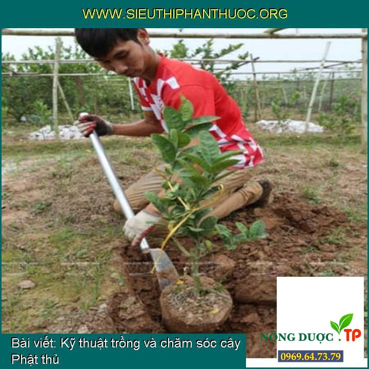 Kỹ thuật trồng và chăm sóc cây Phật thủ