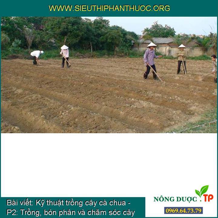 Kỹ thuật trồng cây cà chua - P2: Trồng, bón phân và chăm sóc cây cà chua