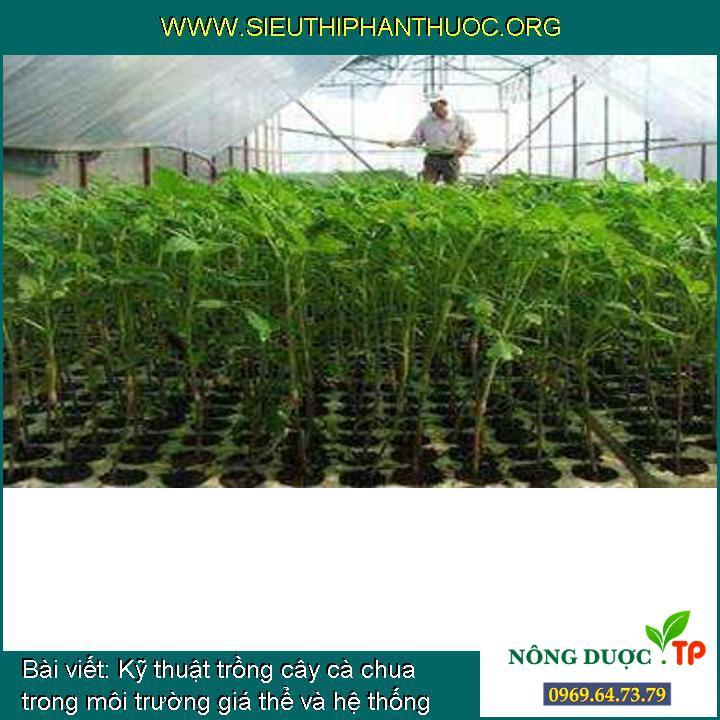 Kỹ thuật trồng cây cà chua trong môi trường giá thể và hệ thống tưới nhỏ giọt
