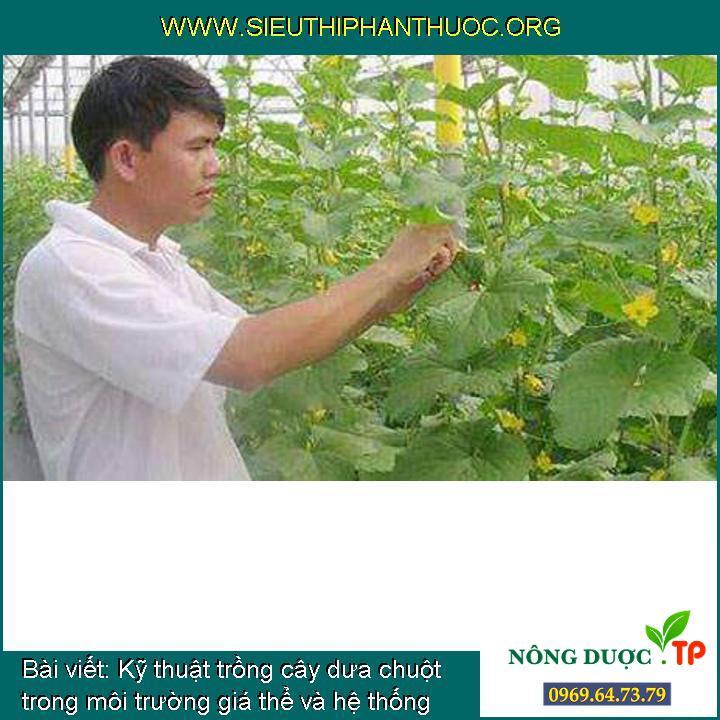 Kỹ thuật trồng cây dưa chuột trong môi trường giá thể và hệ thống tưới nhỏ giọt