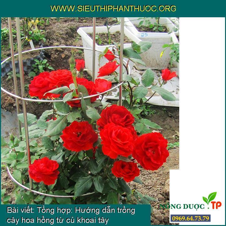 Tổng hợp: Hướng dẫn trồng cây hoa hồng từ củ khoai tây