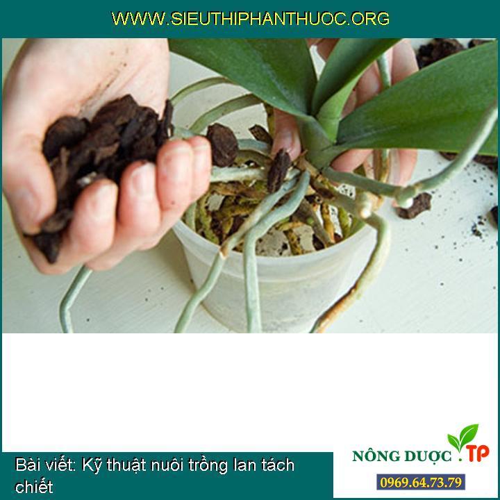 Kỹ thuật nuôi trồng lan tách chiết