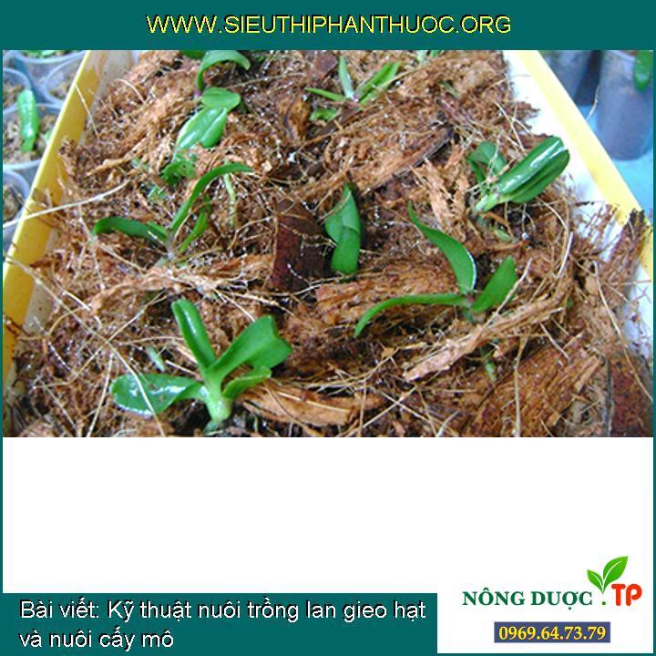 Kỹ thuật nuôi trồng lan gieo hạt và nuôi cấy mô
