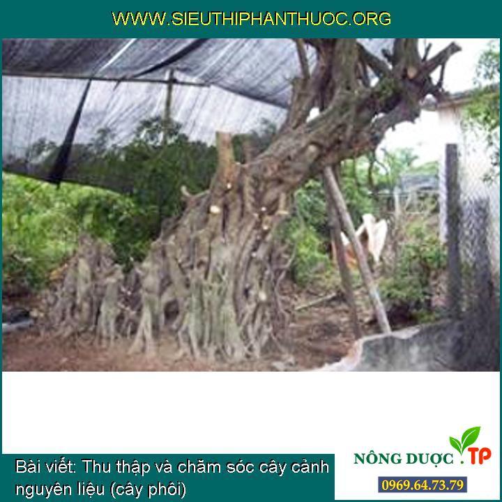 Thu thập và chăm sóc cây cảnh nguyên liệu (cây phôi)