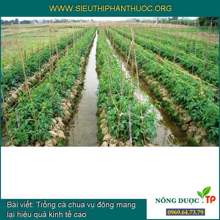 Trồng cà chua vụ đông mang lại hiệu quả kinh tế cao
