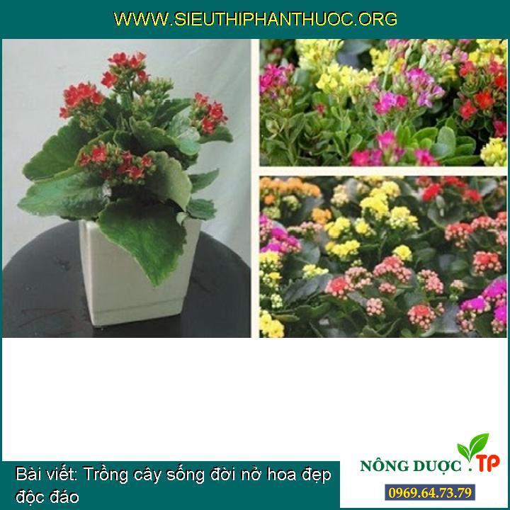 Trồng cây sống đời nở hoa đẹp độc đáo