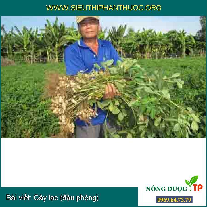 Thoát nghèo nhờ trồng đậu phộng trên cát...