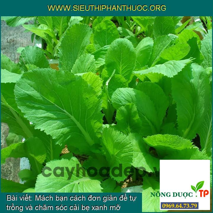 Mách bạn cách đơn giản để tự trồng và chăm sóc cải bẹ xanh mỡ Rado 57