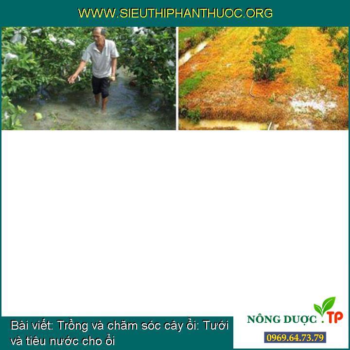 Trồng và chăm sóc cây ổi: Tưới và tiêu nước cho ổi