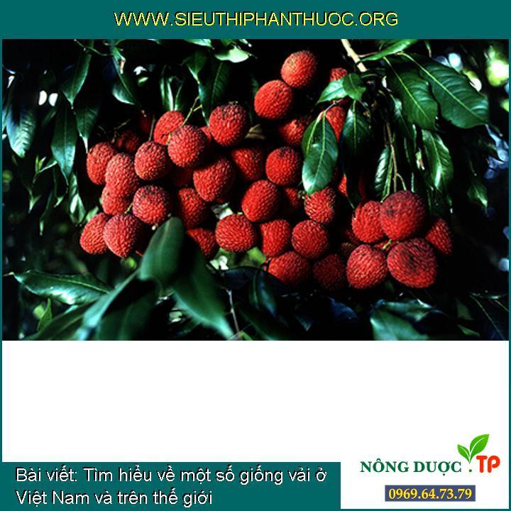 Tìm hiểu về một số giống vải ở Việt Nam và trên thế giới