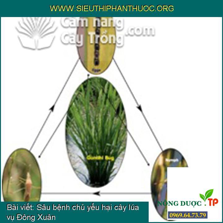 Sâu bệnh chủ yếu hại cây lúa vụ Đông Xuân