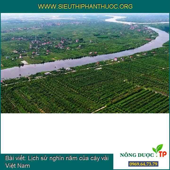 Lịch sử nghìn năm của cây vải Việt Nam