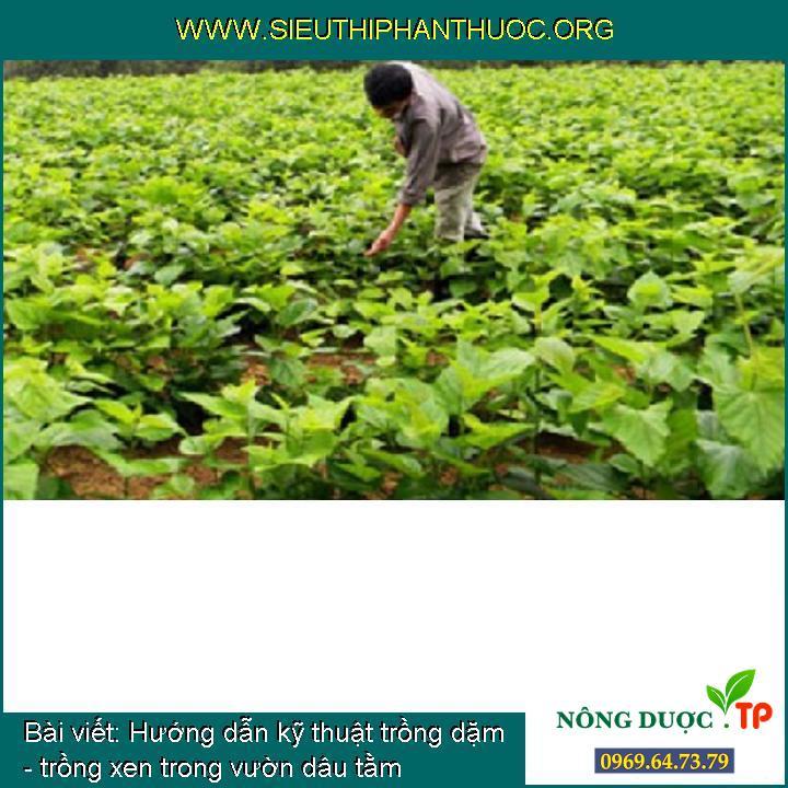 Hướng dẫn kỹ thuật trồng dặm - trồng xen trong vườn dâu tằm