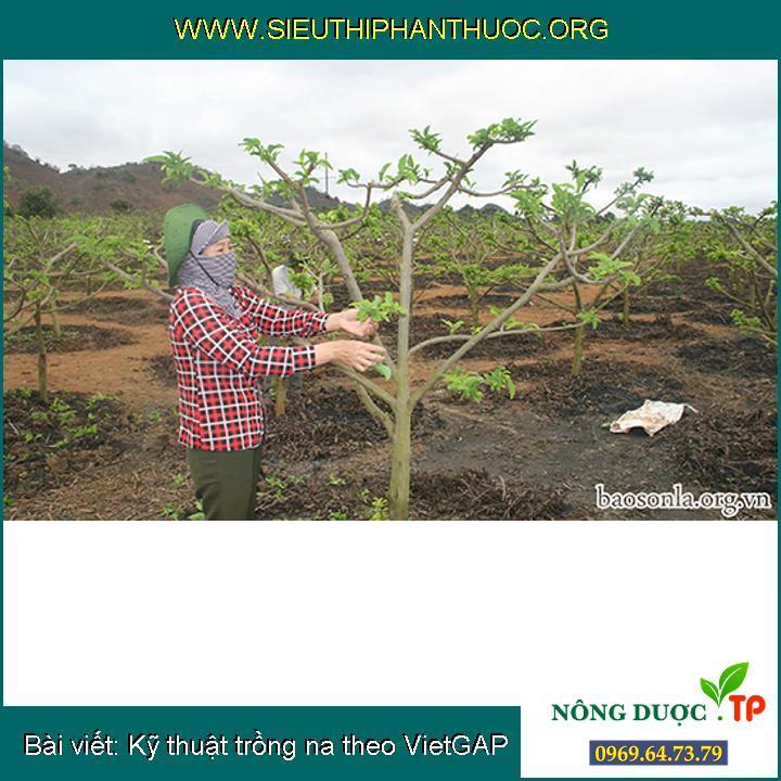 Kỹ thuật trồng na theo VietGAP