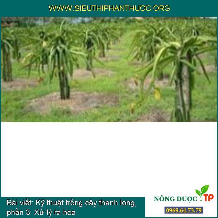 Kỹ thuật trồng cây thanh long, phần 3: Xử lý ra hoa