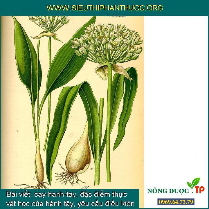 cay-hanh-tay, đặc điểm thực vật học của hành tây, yêu cầu điều kiện ngoại cảnh của hành tây