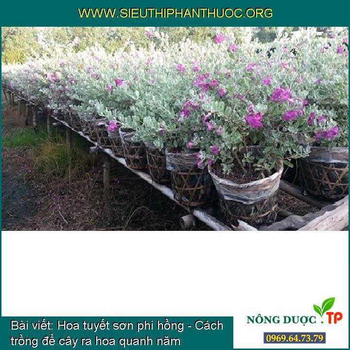 Hoa tuyết sơn phi hồng - Cách trồng để cây ra hoa quanh năm