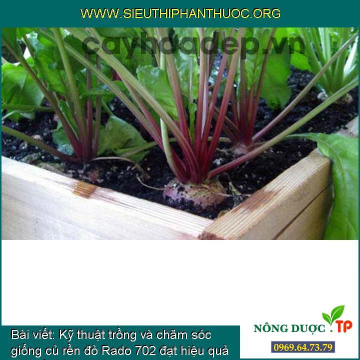 Kỹ thuật trồng và chăm sóc giống củ rền đỏ Rado 702 đạt hiệu quả kinh tế cao