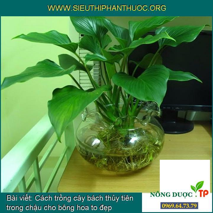 Cách trồng cây bách thủy tiên trong chậu cho bông hoa to đẹp