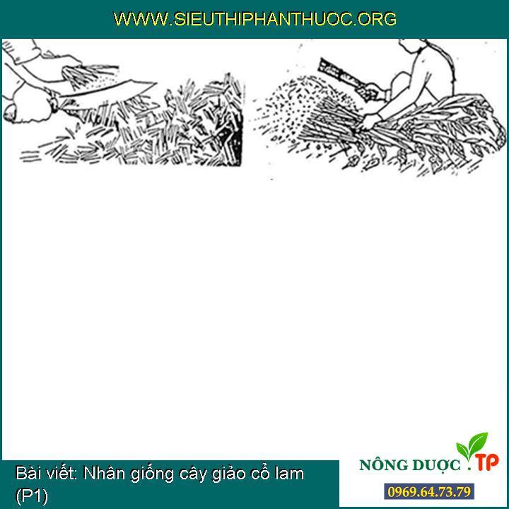 Nhân giống cây giảo cổ lam (P1)
