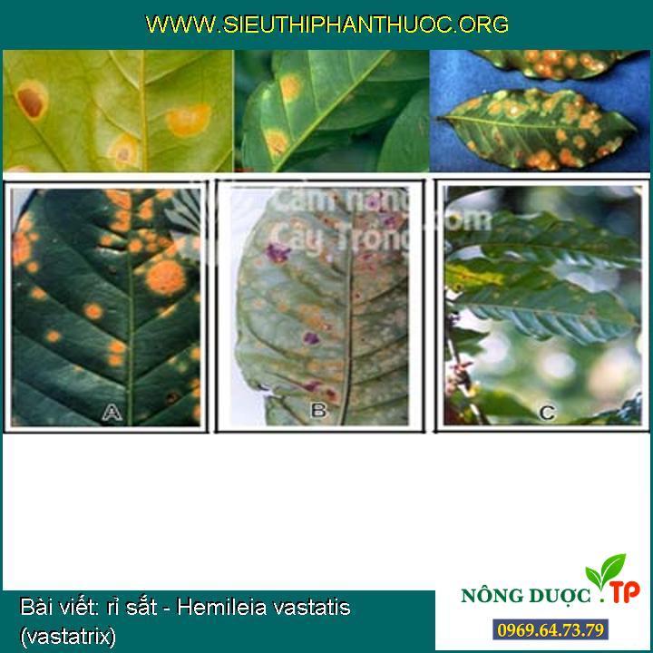 rỉ sắt - Hemileia vastatis (vastatrix)