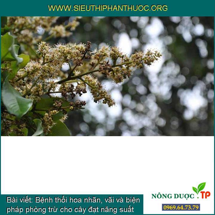 Bệnh thối hoa nhãn, vãi và biện pháp phòng trừ cho cây đạt năng suất