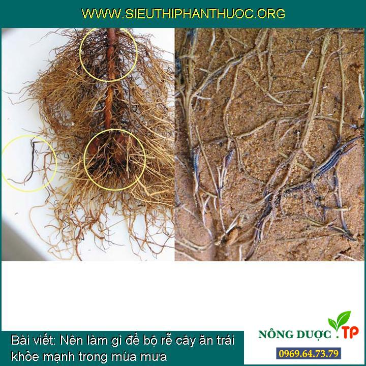 Nên làm gì để bộ rễ cây ăn trái khỏe mạnh trong mùa mưa