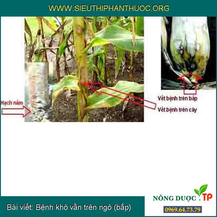 Bệnh khô vằn trên ngô (bắp)