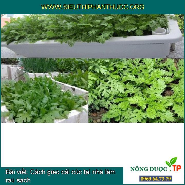 Cách gieo cải cúc tại nhà làm rau sạch