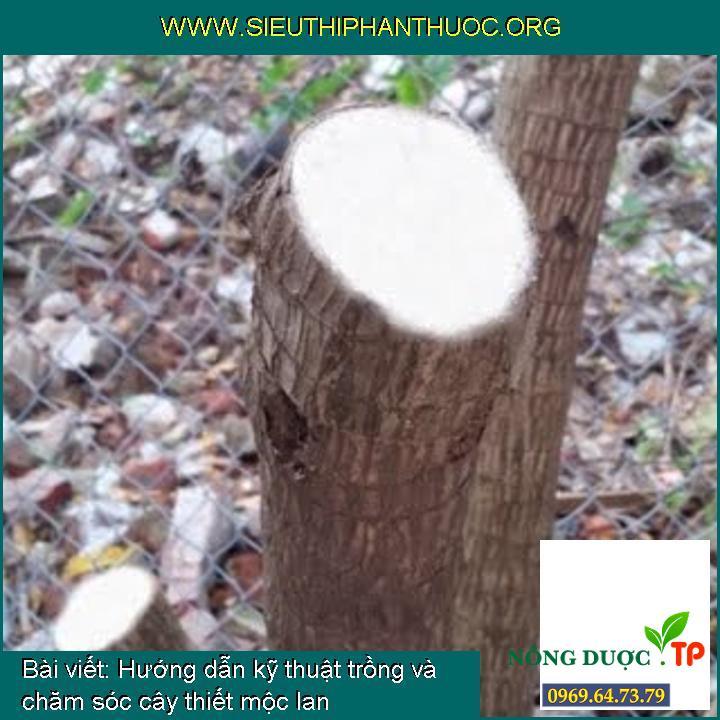 Hướng dẫn kỹ thuật trồng và chăm sóc cây thiết mộc lan