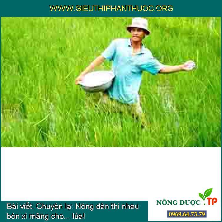 Chuyện lạ: Nông dân thi nhau bón xi măng cho... lúa!