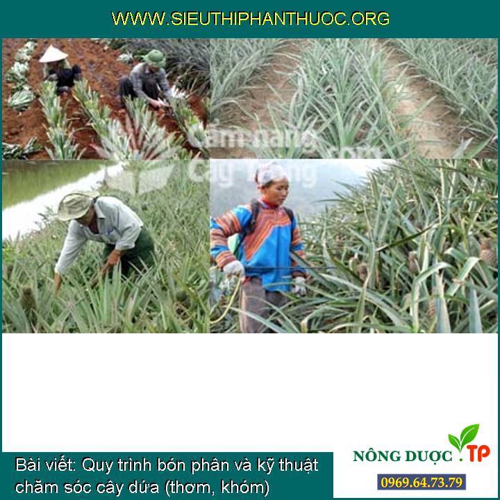 Quy trình bón phân và kỹ thuật chăm sóc cây dứa (thơm, khóm)
